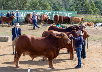 Show-cattle